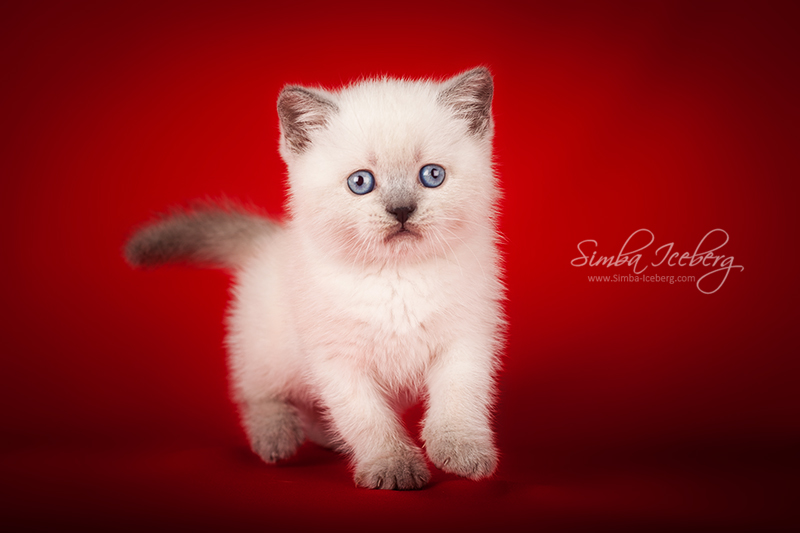Scottish Straight blue point kitten Enterprise of Simba Iceberg (1 month 1 week old - 08.10.2013) (1)