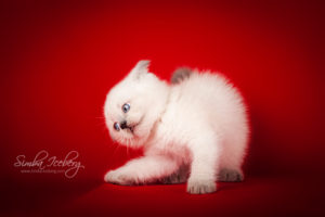 Scottish Straight blue point kitten Enterprise of Simba Iceberg (1 month 1 week old - 08.10.2013) (2)