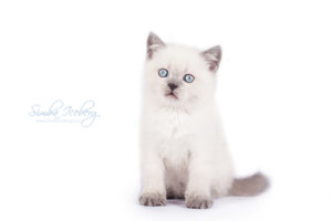 Scottish Straight blue point kitten Enterprise of Simba Iceberg (1 month 3 weeks old - 20.10.2013) (1)