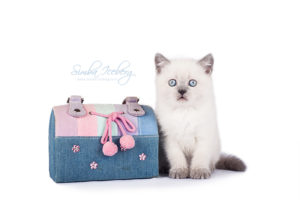 Scottish Straight blue point kitten Enterprise of Simba Iceberg (1 month 3 weeks old - 20.10.2013) (3)