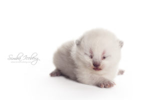 Scottish Straight blue point kitten Enterprise of Simba Iceberg (13 days old - 07.09.2013) (2)