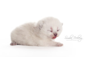 Scottish Straight blue point kitten Enterprise of Simba Iceberg (13 days old - 07.09.2013) (4)
