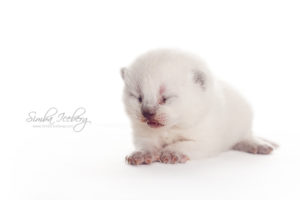 Scottish Straight blue point kitten Enterprise of Simba Iceberg (13 days old - 07.09.2013) (7)
