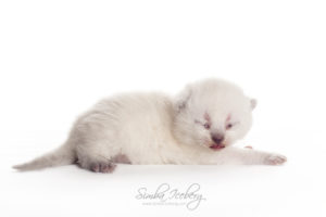 Scottish Straight blue point kitten Enterprise of Simba Iceberg (13 days old - 07.09.2013) (8)