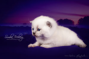 Scottish Straight blue point kitten Enterprise of Simba Iceberg (2 weeks old - 14.09.2013) (1)
