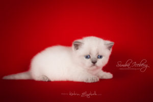 Scottish Straight blue point kitten SimbaIceberg Grace (1 month old - 08.05.2016) (1)