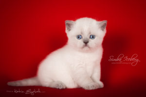 Scottish Straight blue point kitten SimbaIceberg Grace (1 month old - 08.05.2016) (2)