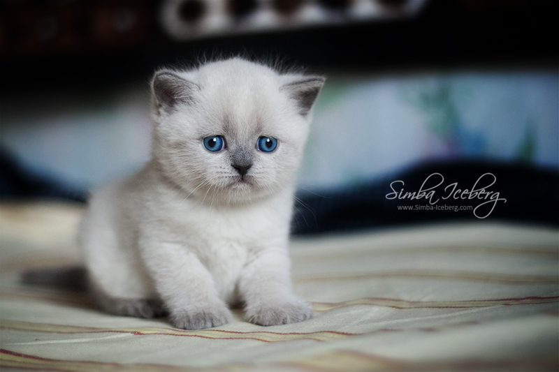 Scottish Straight blue point kitten SimbaIceberg Grace (1 month old - 10.05.2016) (1)