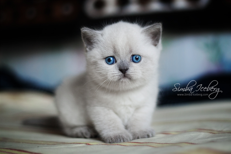 Scottish Straight blue point kitten SimbaIceberg Grace (1 month old - 10.05.2016) (2)
