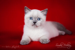 Scottish Straight blue point kitten SimbaIceberg Grace (2 months 2 weeks old - 25.06.2016) (1)