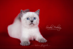Scottish Straight blue point kitten SimbaIceberg Grace (2 months 2 weeks old - 25.06.2016) (2)