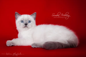 Scottish Straight blue point kitten SimbaIceberg Grace (2 months 2 weeks old - 25.06.2016) (5)
