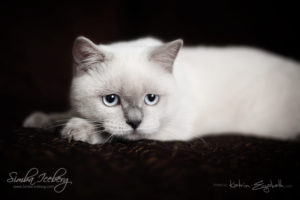 Scottish Straight blue point kitten SimbaIceberg Grace (5 months 1 week old - 18.09.2016) (1)