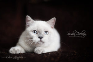 Scottish Straight blue point kitten SimbaIceberg Grace (5 months 1 week old - 18.09.2016) (2)