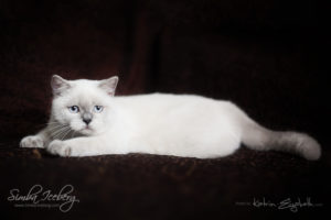 Scottish Straight blue point kitten SimbaIceberg Grace (5 months 1 week old - 18.09.2016) (3)