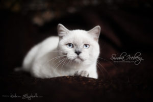 Scottish Straight blue point kitten SimbaIceberg Grace (5 months 1 week old - 18.09.2016) (5)
