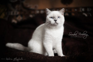 Scottish Straight blue point kitten SimbaIceberg Grace (5 months 1 week old - 18.09.2016) (6)
