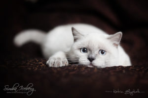 Scottish Straight blue point kitten SimbaIceberg Grace (5 months 1 week old - 18.09.2016) (7)