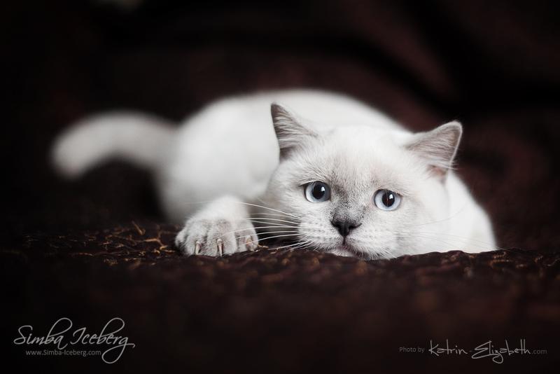 Scottish Straight blue point kitten SimbaIceberg Grace (5 months 1 week old - 18.09.2016) (7)