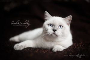 Scottish Straight blue point kitten SimbaIceberg Grace (5 months 1 week old - 18.09.2016) (8)