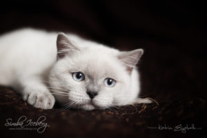 Scottish Straight blue point kitten SimbaIceberg Grace (5 months 1 week old - 18.09.2016) (9)