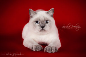 Scottish Straight blue point kitten SimbaIceberg Grace (6 months 3 weeks old - 30.10.2016) (1)