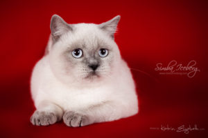 Scottish Straight blue point kitten SimbaIceberg Grace (6 months 3 weeks old - 30.10.2016) (2)