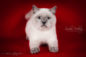 Scottish Straight blue point kitten SimbaIceberg Grace (6 months 3 weeks old - 30.10.2016) (3)