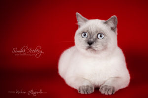 Scottish Straight blue point kitten SimbaIceberg Grace (6 months 3 weeks old - 30.10.2016) (4)