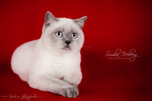 Scottish Straight blue point kitten SimbaIceberg Grace (6 months 3 weeks old - 30.10.2016) (5)