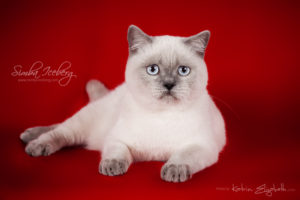 Scottish Straight blue point kitten SimbaIceberg Grace (6 months 3 weeks old - 30.10.2016) (7)