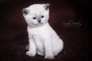 Scottish Straight blue point kitten SimbaIceberg Harry (1 month 1 week old - 31.03.2017) (1)