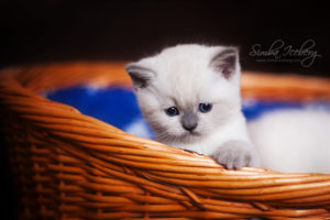 Scottish Straight blue point kitten SimbaIceberg Harry (1 month 1 week old - 31.03.2017) (10)