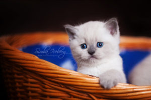 Scottish Straight blue point kitten SimbaIceberg Harry (1 month 1 week old - 31.03.2017) (11)