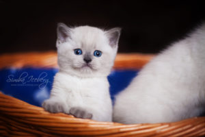 Scottish Straight blue point kitten SimbaIceberg Harry (1 month 1 week old - 31.03.2017) (13)
