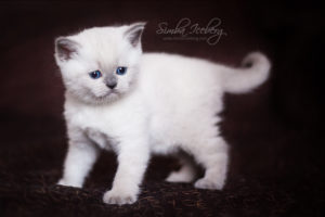 Scottish Straight blue point kitten SimbaIceberg Harry (1 month 1 week old - 31.03.2017) (2)