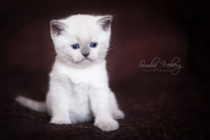 Scottish Straight blue point kitten SimbaIceberg Harry (1 month 1 week old - 31.03.2017) (3)