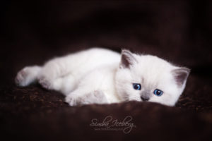 Scottish Straight blue point kitten SimbaIceberg Harry (1 month 1 week old - 31.03.2017) (4)