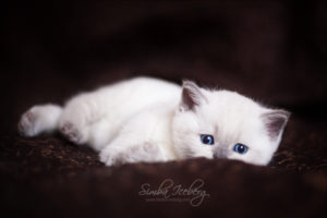 Scottish Straight blue point kitten SimbaIceberg Harry (1 month 1 week old - 31.03.2017) (5)
