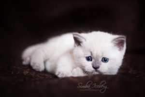Scottish Straight blue point kitten SimbaIceberg Harry (1 month 1 week old - 31.03.2017) (6)