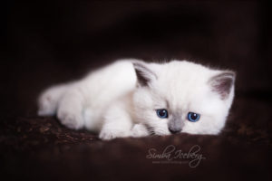 Scottish Straight blue point kitten SimbaIceberg Harry (1 month 1 week old - 31.03.2017) (7)