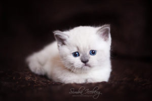Scottish Straight blue point kitten SimbaIceberg Harry (1 month 1 week old - 31.03.2017) (8)