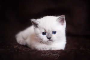 Scottish Straight blue point kitten SimbaIceberg Harry (1 month 1 week old - 31.03.2017) (9)