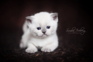 Scottish Straight blue point kitten SimbaIceberg Harry (1 month 3 days old - 25.03.2017) (1)