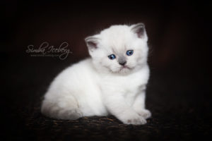 Scottish Straight blue point kitten SimbaIceberg Harry (1 month 3 days old - 25.03.2017) (10)
