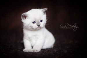 Scottish Straight blue point kitten SimbaIceberg Harry (1 month 3 days old - 25.03.2017) (3)