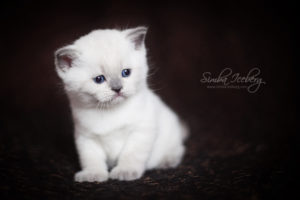 Scottish Straight blue point kitten SimbaIceberg Harry (1 month 3 days old - 25.03.2017) (4)
