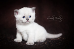Scottish Straight blue point kitten SimbaIceberg Harry (1 month 3 days old - 25.03.2017) (5)