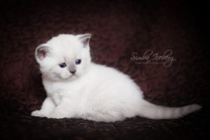 Scottish Straight blue point kitten SimbaIceberg Harry (1 month 3 days old - 25.03.2017) (6)