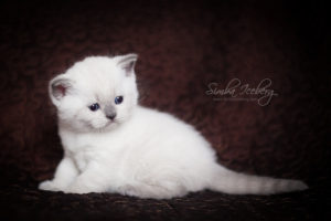 Scottish Straight blue point kitten SimbaIceberg Harry (1 month 3 days old - 25.03.2017) (7)
